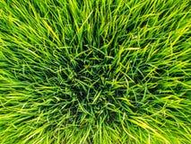 Урожай риса Стоковые Изображения RF