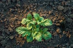 Взгляд сверху молодой расти завода картошки Стоковые Фото