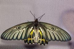 Взгляд сверху общей бабочки Birdwing Стоковая Фотография RF