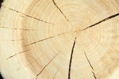 Взгляд сверху пня дерева изолированного на отказах предпосылки радиальных Стоковое Изображение
