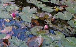 Взгляд сверху пруда с цветками лилии воды Стоковые Изображения RF