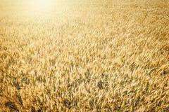 Взгляд сверху пшеничного поля на сборе Стоковое фото RF