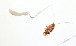 Взгляд сверху сняло мертвого таракана на туалете пола с салфеткой Стоковые Изображения RF