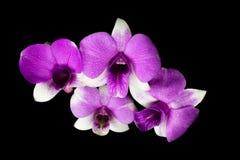 Взгляд сверху фиолетовой орхидеи Dendrobium в черной предпосылке Стоковые Фотографии RF