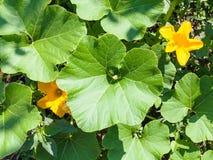 Взгляд сверху цветков и листьев завода цукини Стоковое Изображение RF