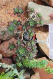 Взгляд сверху echeveria Succulents Succulents засаженные в земле Стоковая Фотография
