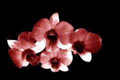Взгляд сверху Maroon орхидеи Dendrobium в черной предпосылке Стоковая Фотография RF