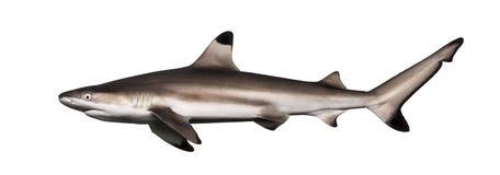 Взгляд со стороны акулы рифа Blacktip, melanopterus Carcharhinus Стоковое фото RF
