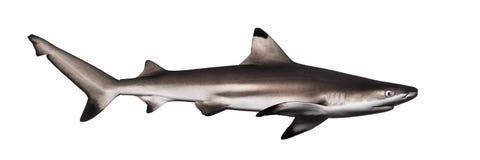 Взгляд со стороны акулы рифа Blacktip, melanopterus Carcharhinus Стоковое Изображение RF