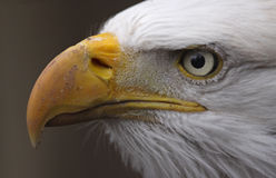 Взгляд со стороны белоголового орлана Стоковые Изображения RF