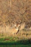 Взгляд со стороны больших оленей Whitetail Стоковые Изображения