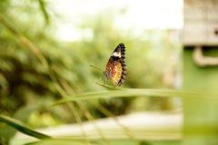 Взгляд со стороны желтой оранжевой красочной бабочки сидя на зеленых лист в саде со своими крылами высоко вверх к небу Стоковые Изображения RF