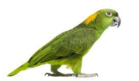 Взгляд со стороны желтый-naped идти попугая (6 лет) стоковое фото rf