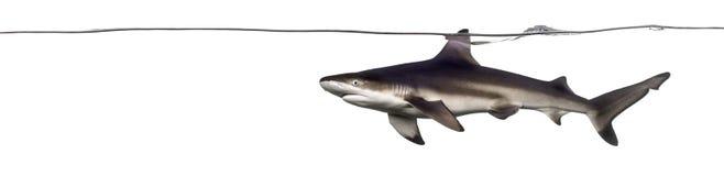 Взгляд со стороны заплывания акулы рифа Blacktip на поверхности th Стоковые Фотографии RF