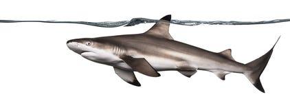 Взгляд со стороны заплывания акулы рифа Blacktip Стоковая Фотография RF