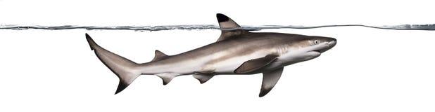 Взгляд со стороны заплывания акулы рифа Blacktip Стоковые Изображения RF