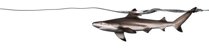 Взгляд со стороны заплывания акулы рифа Blacktip Стоковое Фото