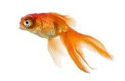 Взгляд со стороны заплывания рыбки islolated на белизне Стоковая Фотография