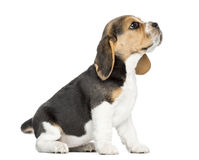 Взгляд со стороны изолированного усаживания щенка бигля, смотря вверх, Стоковое Изображение