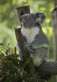 Взгляд со стороны коалы Стоковые Изображения