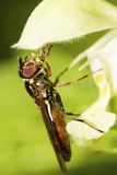 Взгляд со стороны конца-вверх кавказского цветка летает под whi лепестка Стоковое фото RF