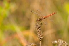 Взгляд со стороны красного dragonfly на окуне Стоковое Фото