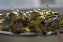 Взгляд со стороны крупного плана entwined виноградным вином яичек робинов Стоковая Фотография
