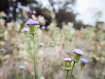 Взгляд со стороны маленького фиолетового цветка травы Стоковое фото RF