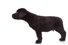 Собака щенка retriever Лабрадора обнюхивая что-то Стоковые Фото