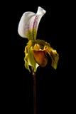 Взгляд со стороны одиночной орхидеи тапочки Венеры Стоковое Фото