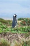 Взгляд со стороны пингвина в природе Стоковая Фотография RF