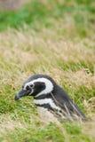 Взгляд со стороны пингвина Стоковые Фотографии RF