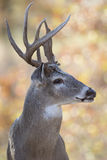 Взгляд со стороны портрета самца оленя Whitetail Стоковое Изображение