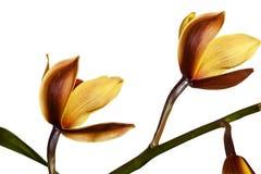 Взгляд со стороны раскрывая желтых и magenta цветков орхидеи Стоковая Фотография