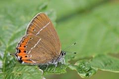 Взгляд со стороны редкой черной бабочки Hairstreak, pruni Satyrium, садить на насест на лист со своими крылами закрыл Стоковые Фото