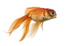Взгляд со стороны рыбки в воде islolated на белизне Стоковая Фотография RF