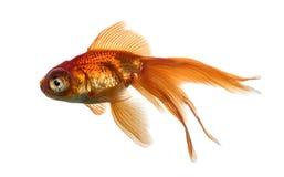 Взгляд со стороны рыбки в воде, islolated на белизне Стоковая Фотография RF