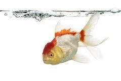 Взгляд со стороны рыбки львов головной Стоковое Изображение RF