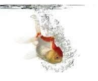 Взгляд со стороны рыбки львов подныривания головной Стоковые Фото