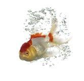 Взгляд со стороны рыбки львов подныривания головной Стоковое Фото