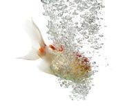 Взгляд со стороны рыбки львов подныривания головной Стоковые Изображения RF