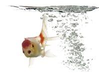Взгляд со стороны рыбки львов подныривания головной Стоковое Изображение RF