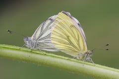 Взгляд со стороны сопрягая пары красивого Зелен-veined белого napi Pieris бабочки садился на насест на стержне при их закрытые кр Стоковое Фото