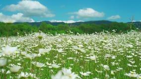 Взгляд со стороны стоцвета цветет при мягкий фокус пошатывая в ветре Зацветая стоцвет в зеленом луге весны ботаническую сток-видео