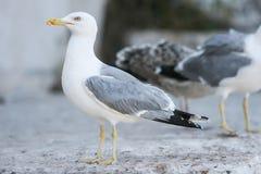 Взгляд со стороны чайки на бетоне Стоковые Фотографии RF