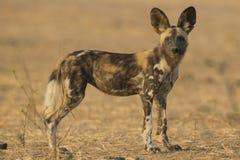 Взгляд со стороны щенка дикой собаки смотря камеру Стоковое Фото