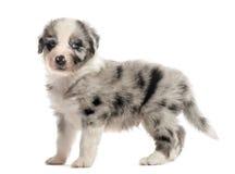 Взгляд со стороны щенка crossbreed изолированного на белизне Стоковое фото RF