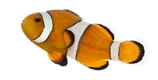Взгляд со стороны clownfish Ocellaris, ocellaris Amphiprion Стоковое Изображение RF