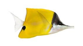 Взгляд со стороны Longnose Butterflyfish Стоковое фото RF