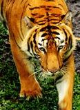 Взгляд тигра Стоковые Изображения RF